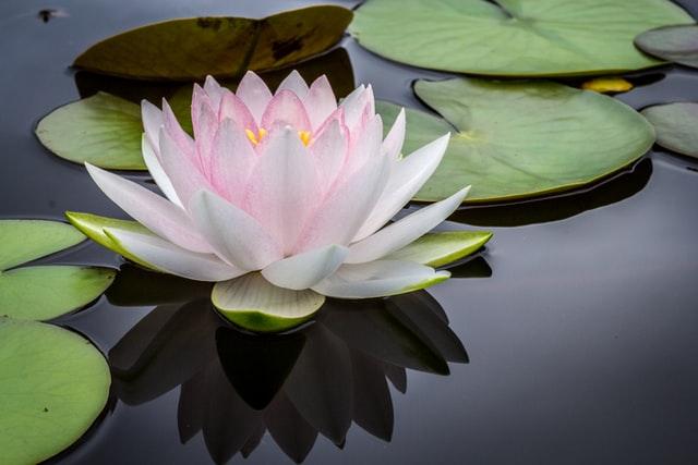 De symboliek van de lotusbloem