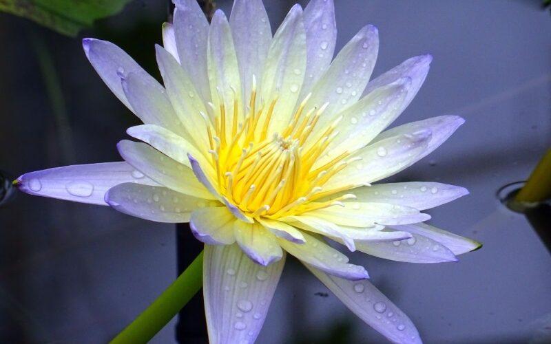 De kleuren van de lotusbloem en hun betekenis